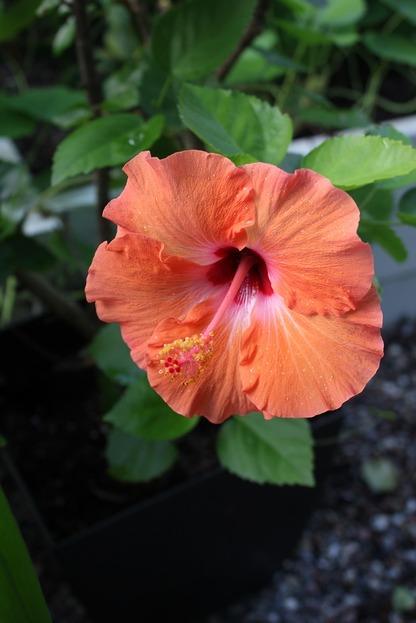 Sept24_hibiscus