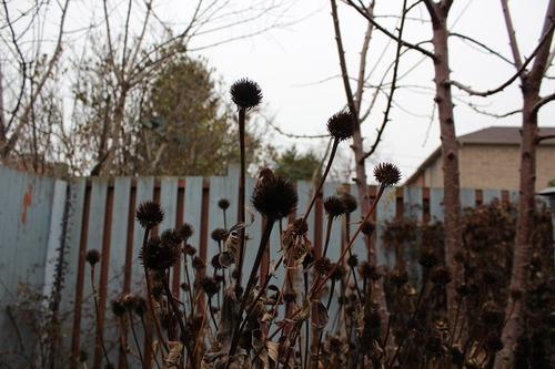 Nov23_echinacea