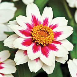 Zinnia marylandica 'Zahara Starlight Rose '