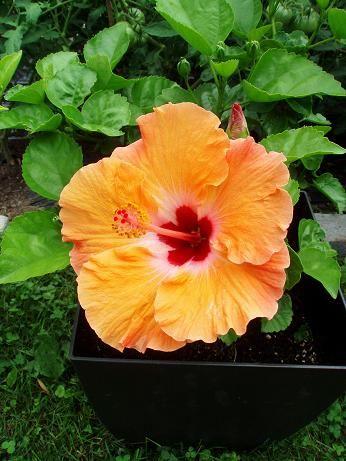 hibiscusOrangeAug14