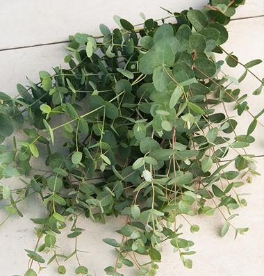 EucalyptusSD