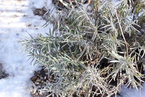 Jan16_lavender