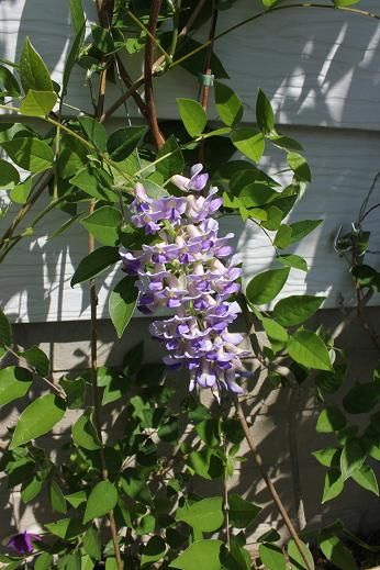 June14_wisteria2