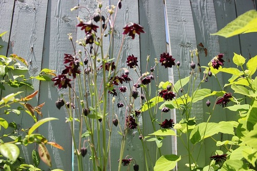 June15_aquilegiaBB1