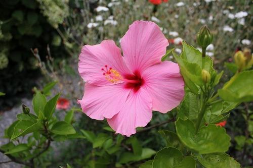 Aug23_hibiscus