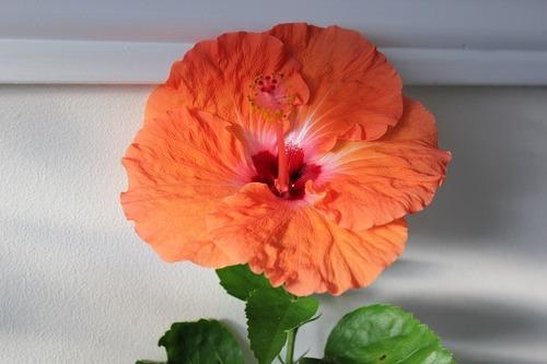 Nov22_hibiscus