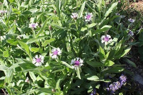 May25_centaurea2