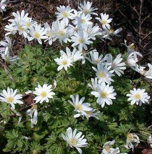 Anemone 'White Splendour'