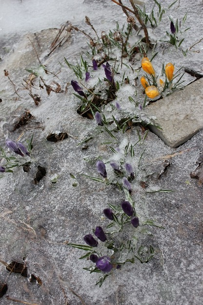 March25_crocuses1