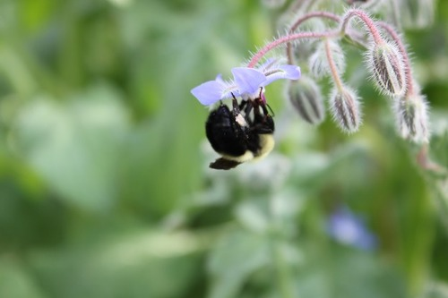 July9_borage1