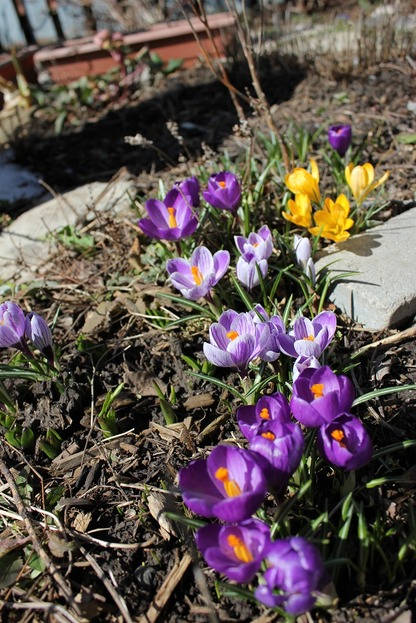 March26_crocuses2