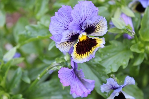 June18_pansies