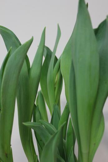 tulips_jan30