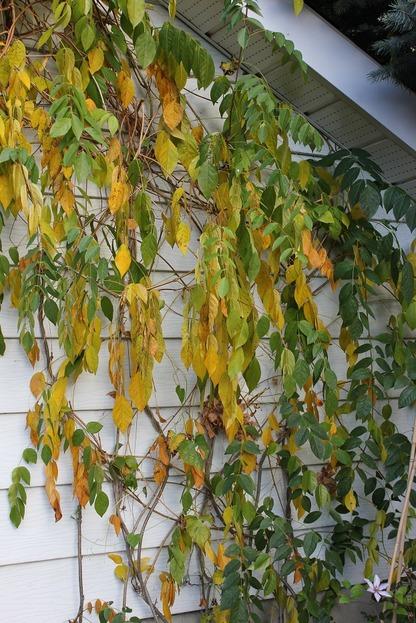Oct25_wisteria