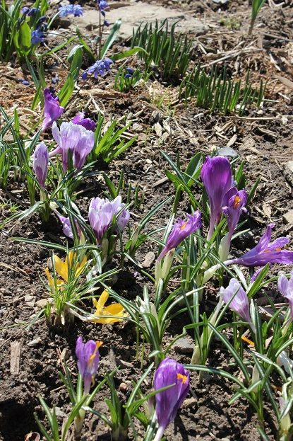 April20_crocus