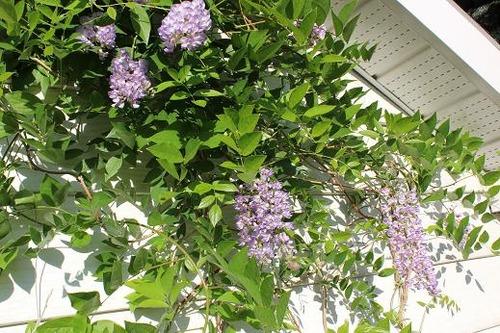 June22_wisteria1