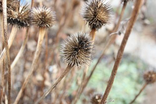 Dec21_echinacea