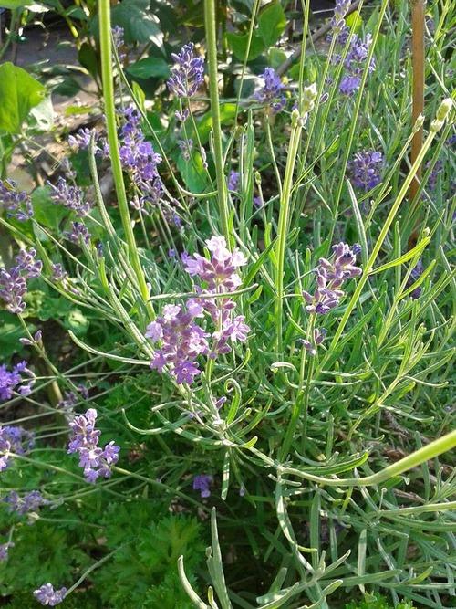 July18_lavender