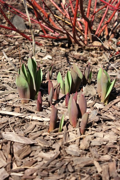 March19_Ftulips2