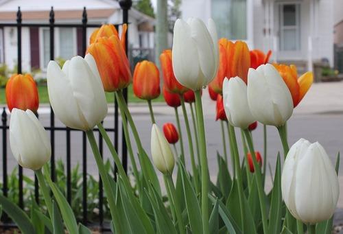 May16_tulips3