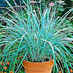 Leymus arenarius 'Blue Grass'