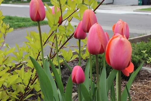 May16_tulips1