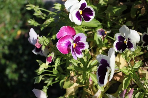 Aug23_pansies