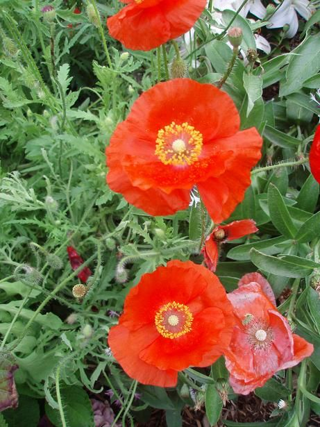 july28_poppies