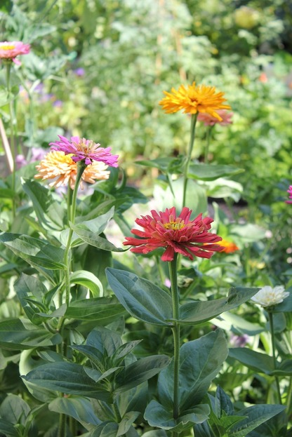 July23_zinnias