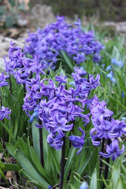 Apr22_hyacinths