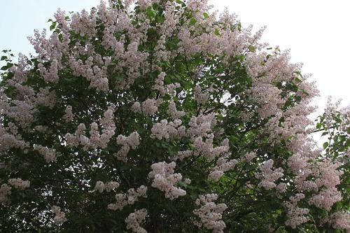 May27_lilac2
