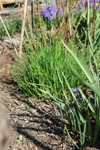 Apr22_chives