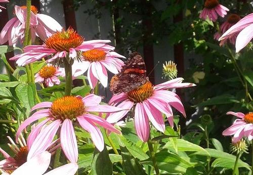 July30_echinacea