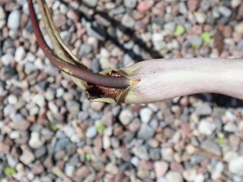 May20 (8)voodoo lily1