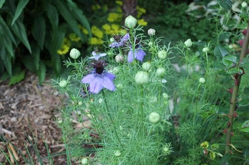 july7_nigella2