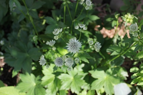 June28_astrantiaSOB2