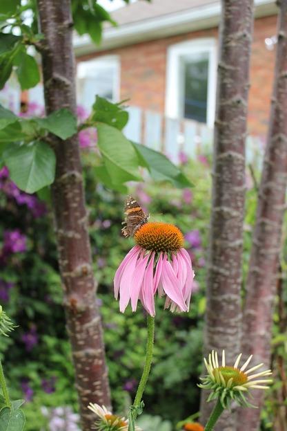 July25_echinacea1