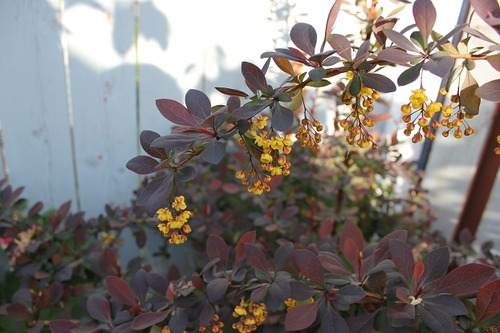 May17_barberry2