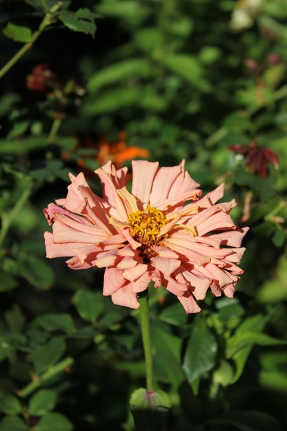 Oct10_zinniap