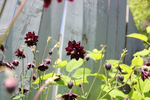 June15_aquilegiaBB2