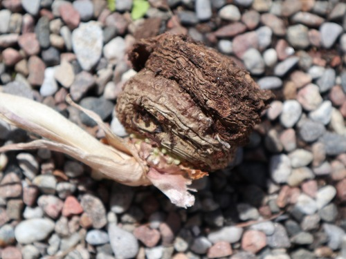 May20 (9)voodoo lily2