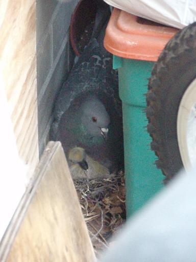 pigeons_s