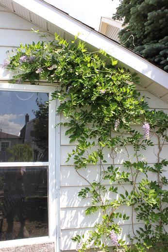 June14_wisteria1