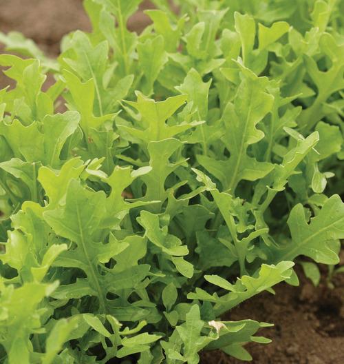 Astro Organic Arugula