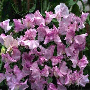 Sweet pea LAVENDER STRIPED FLUSH