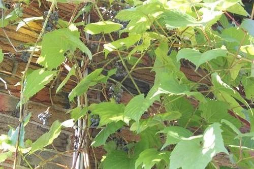 Aug25_grapes