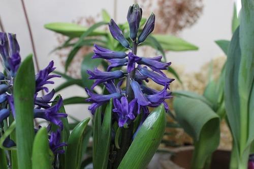 March22_hyacinth