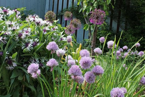 June2_chives_centaurea
