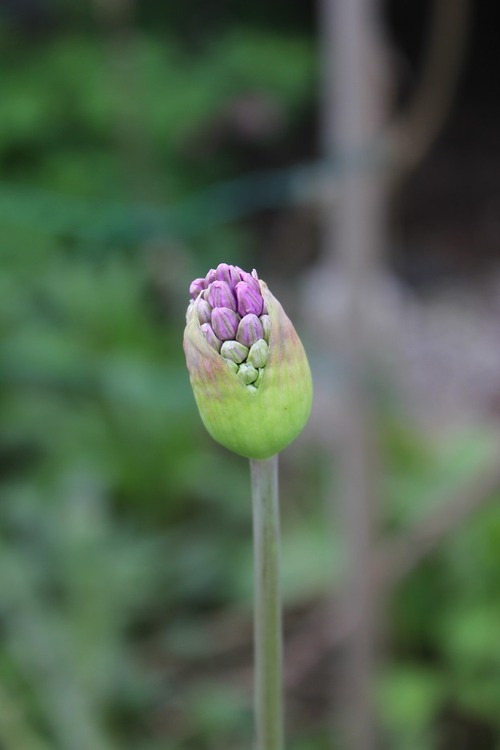 May19_allium3