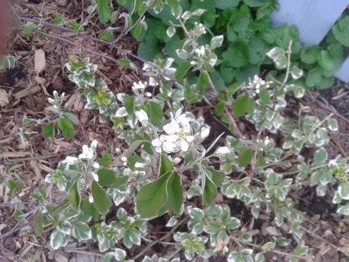 May13_serviceberry